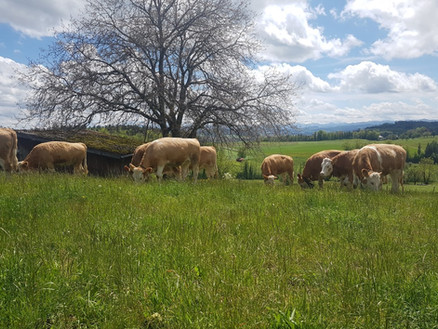 Simmentaler Herde