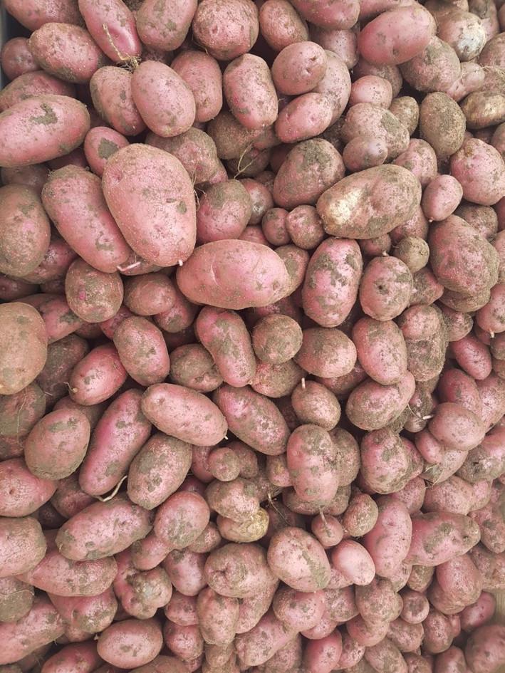 Kartoffel blau