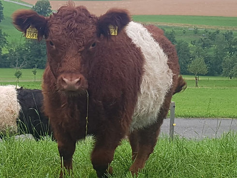 Galloway red balted