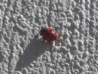 Why do Flies & Lady bugs stick to fresh paint?