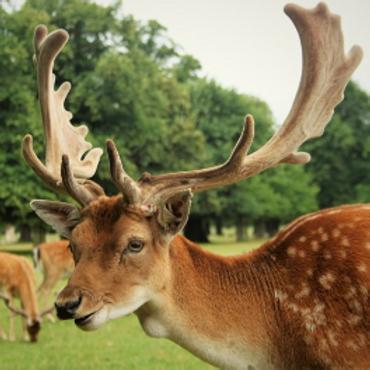 Photograph: Deer in Bushy Park
