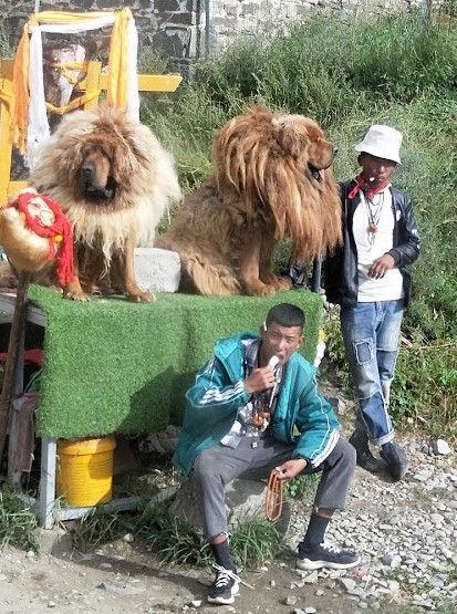 ibetan Mastiff dog