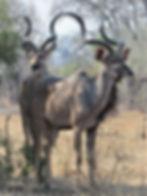Kudu antelope- stunning horns