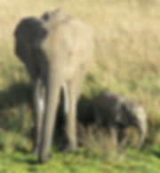 Mother elephant and baby Africa