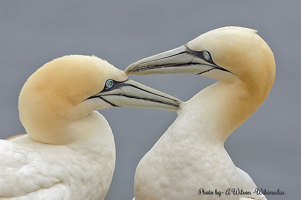Gorgeous gannets by Tim Wilson -Wikimedia