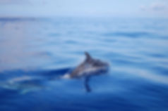 Dolphins at Maui