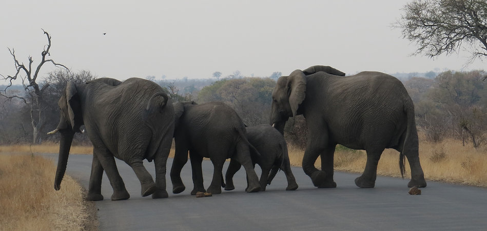 Elephant family crosses road Africa