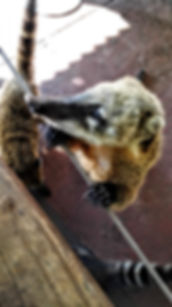 Coati searching for food. Iguazu Falls, Argentina