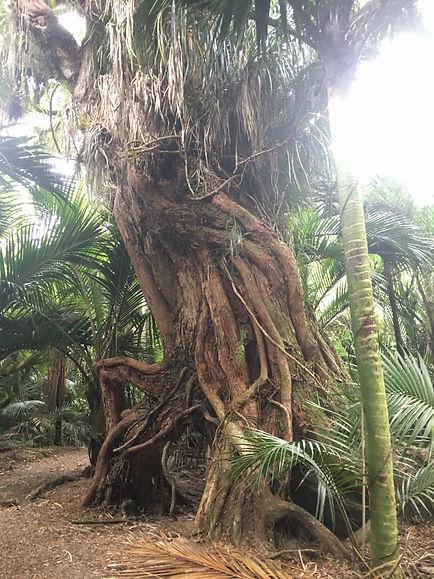Rata Trees & Nikau Palms