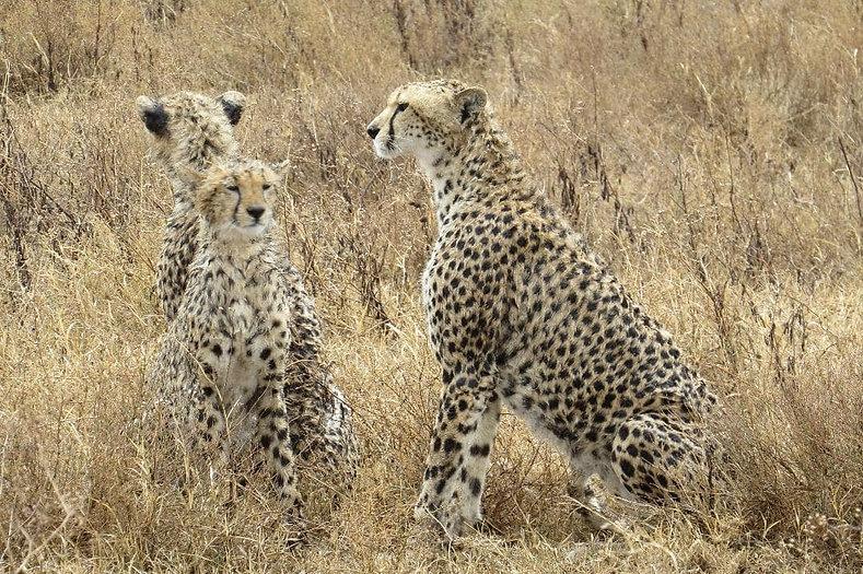 Cheetah family- Tanzania