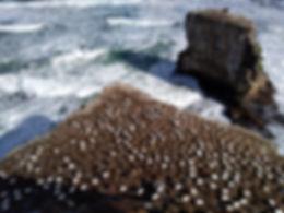 The gannets Muriwai Beach