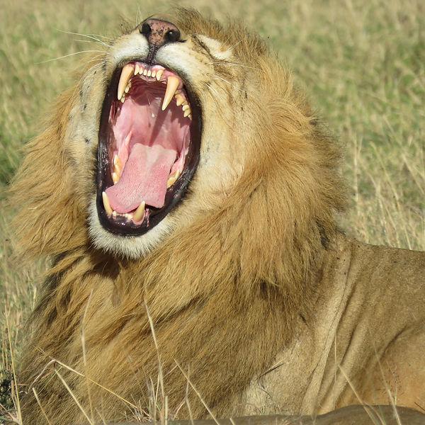 Lion yawning- Africa