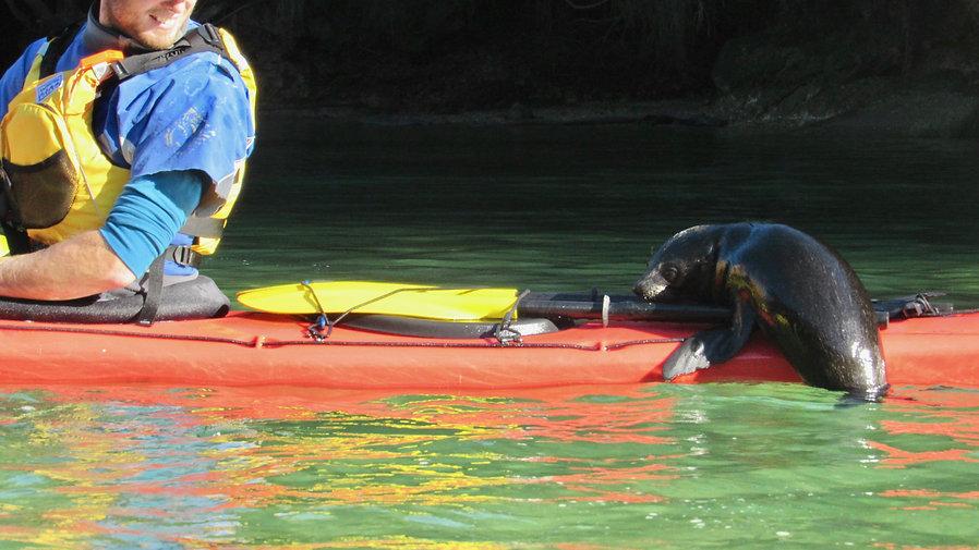 Abel Tasman - Baby Seal on Kayak -