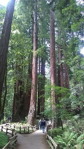 Stunning majestic redwood trees
