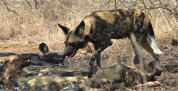 Wild Dogs lazing Africa