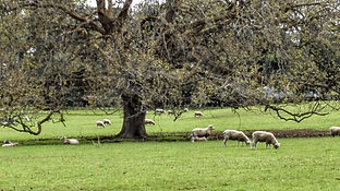 Sheep at Cornwall Park farm