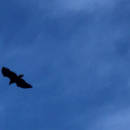 9 White-tailed Eagles.