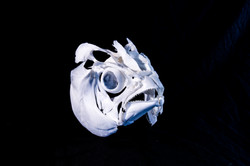Blackfin Tuna (Thunnus atlanticus)