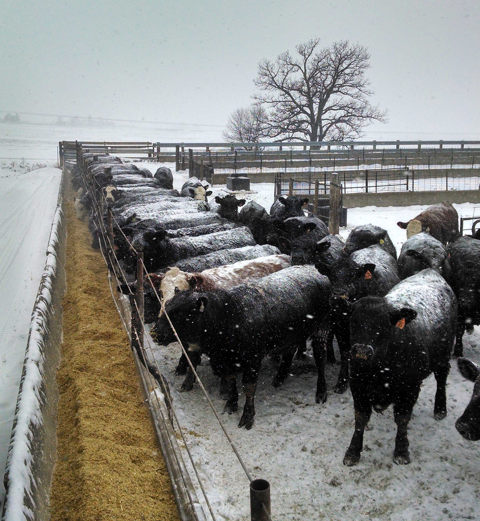 Cattle_Snow_Web.jpg