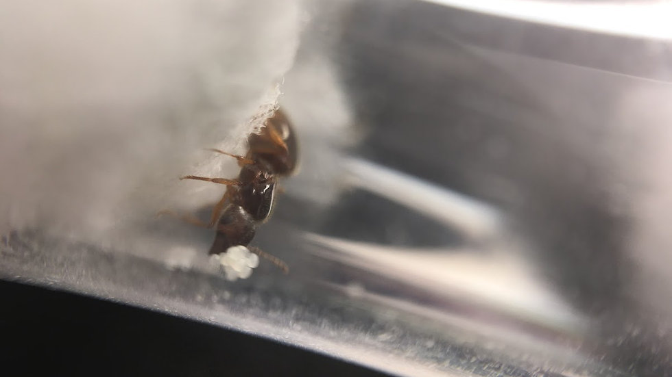 Pheidole Pallidula (Big-headed ants) Queen + Brood With Free Starter Pack