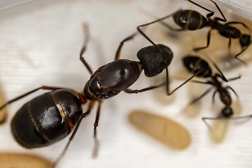 Camponotus Barbaricus Queen (+Brood) With Free Starter Pack