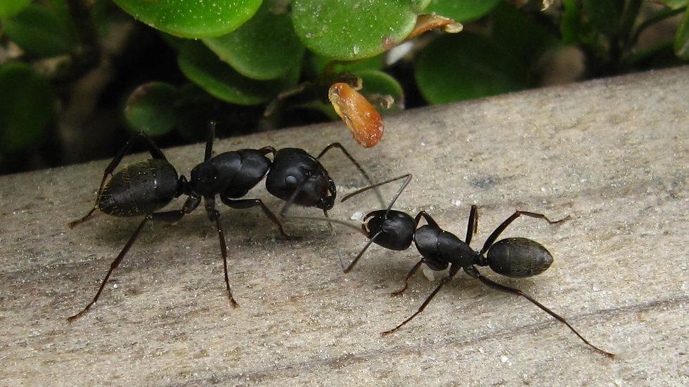 Camponotus Japonicus Queen + 1-5 workers