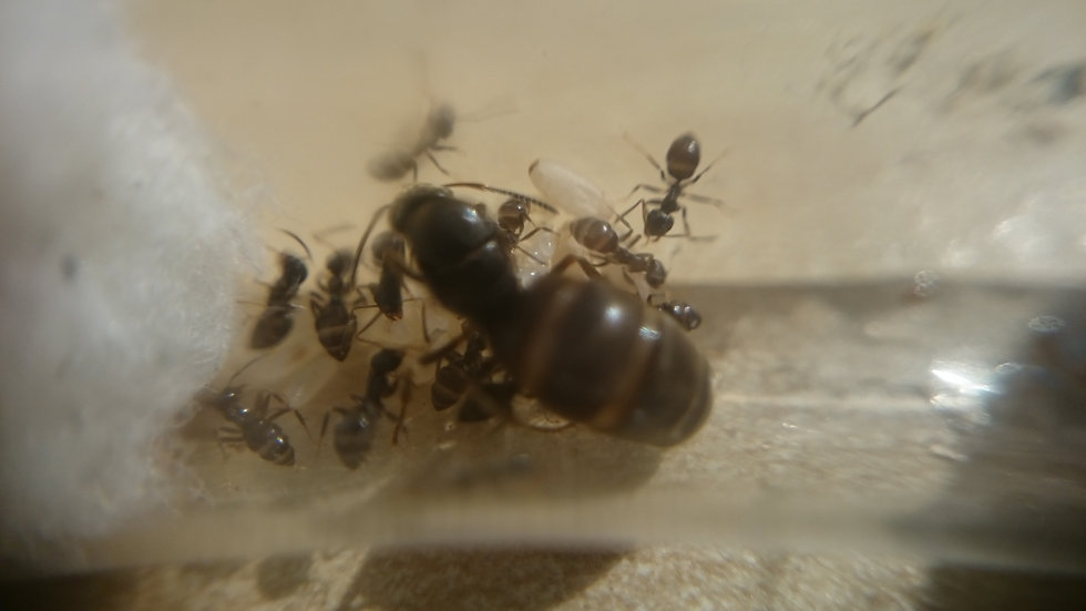 Lasius Niger Queen + 2-5 Workers