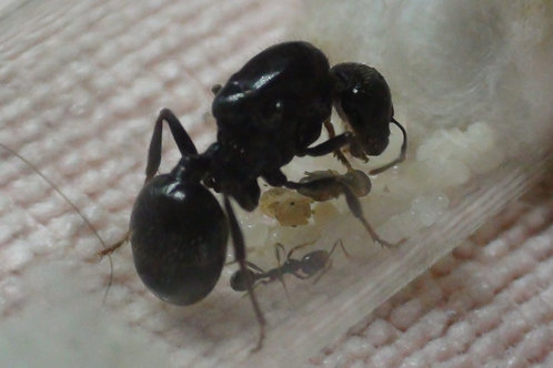 Messor Barbarus Queen (1-5Workers) With Free Starter pack