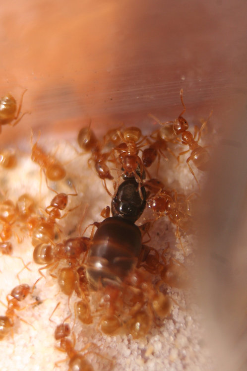 Lasius Flavus Queen(+brood) With Free Starter Pack