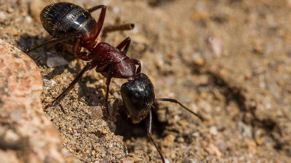 Camponotus Ligniperda Queen (+Brood) With Free Starter Pack