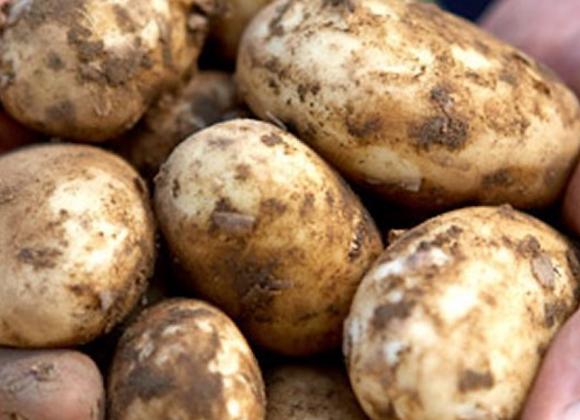Potatoes, Maris Piper, LOCAL 1kg