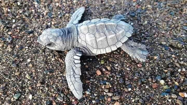 Drake bay turtles