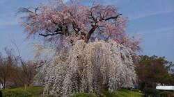 日本の四季(春)