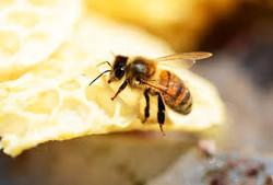 Bienenvortrag