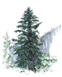 WEB-Englemann-Spruce