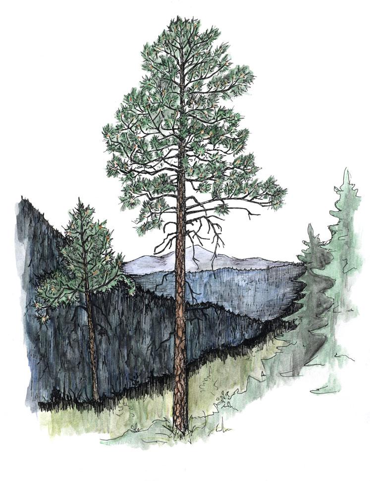 WEB-Ponderosa-Pine