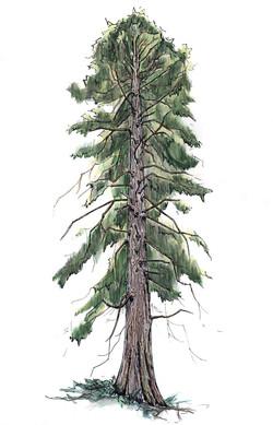WEB-Cedar