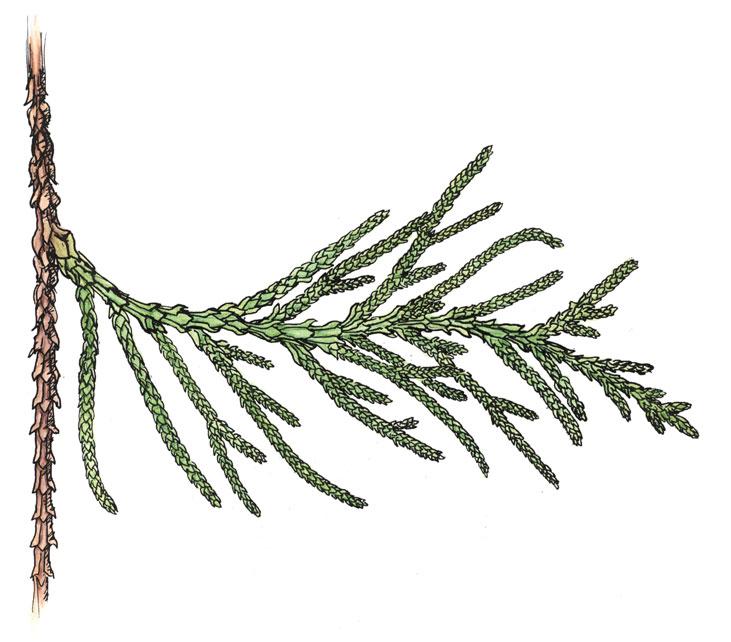 WEB-Cedar-Needle