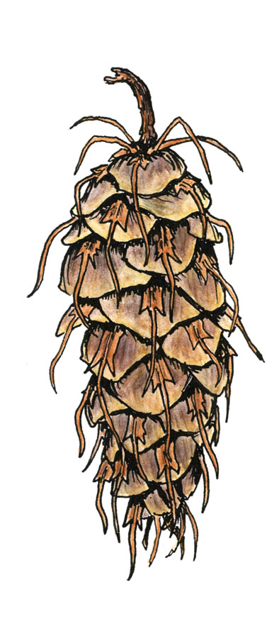 WEB-Doug-Fir-Cone