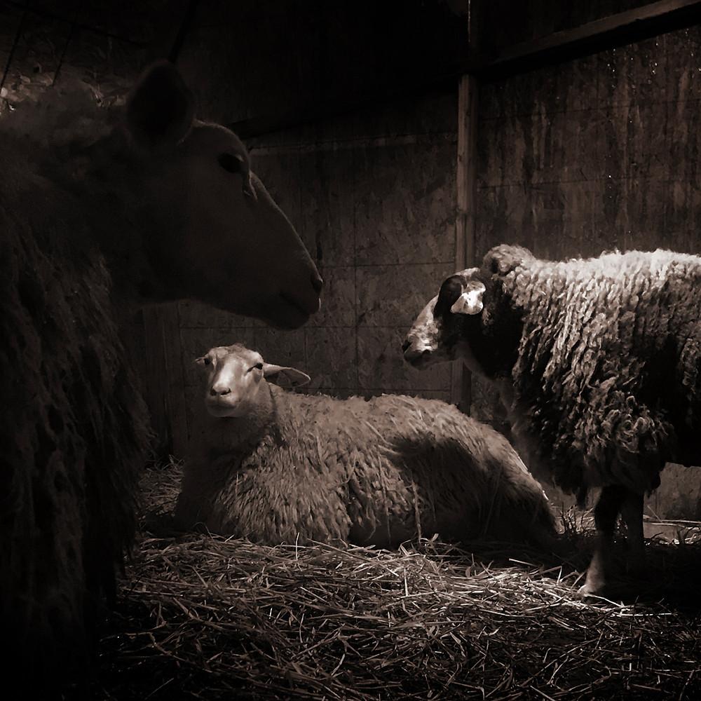 Dairy sheep lambing shed