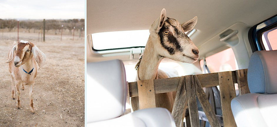 Dairy Goat Farm Stay Paso Robles