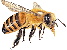 honey bee grain.png
