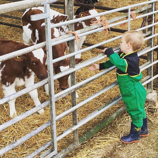 The boss! #farmlife #youngfarmers #calves #ayrshirecalves #farming #teamdairy #nextgeneration #ayrsh
