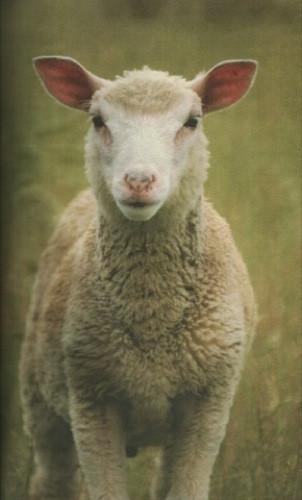 Calle_Blind_sheep2.jpg