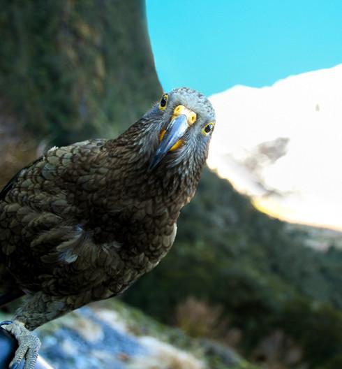our beloved kea.jpg