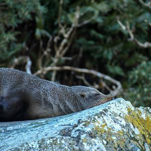 Sleeping Seal by @belenrada