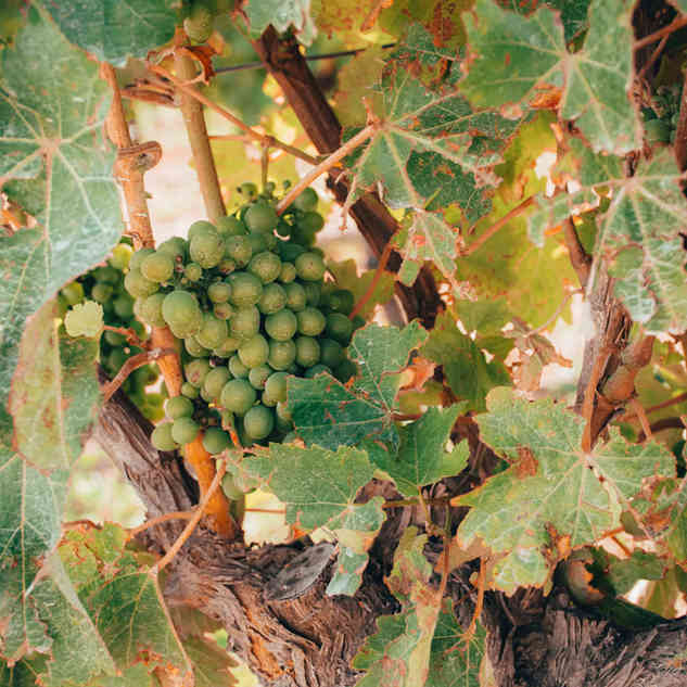 Delicious grapes by @belenrada
