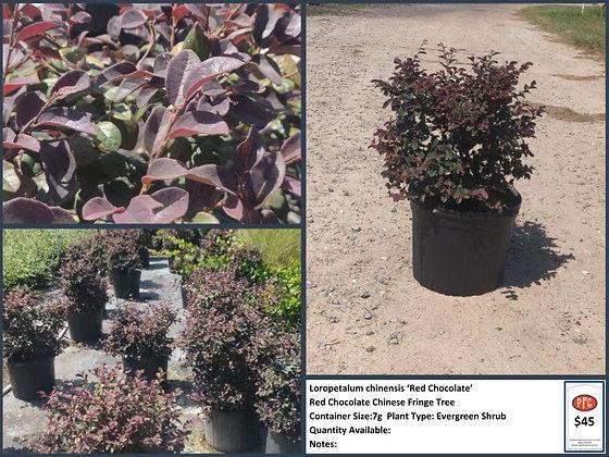 7g Red Chocolate Chinese Fringe Tree