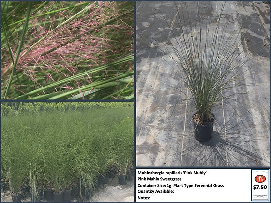 1g Pink Muhly Sweetgrass