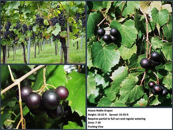 Alsace: Noble Grapes